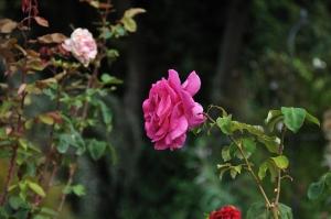 monida-wordpress thabor park rose 1