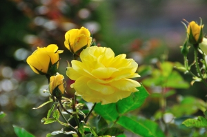 monida-wordpress thabor park rose 3