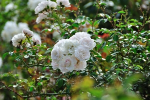 monida-wordpress thabor park rose 4