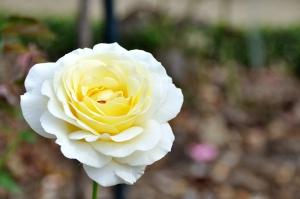 monida-wordpress thabor park rose 5